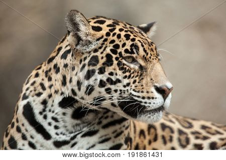 Jaguar (Panthera onca). Wildlife animal.