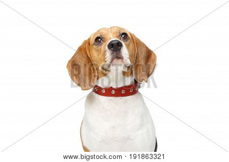beautiful beagle girl dog with red collar isolated on white background. copy space.