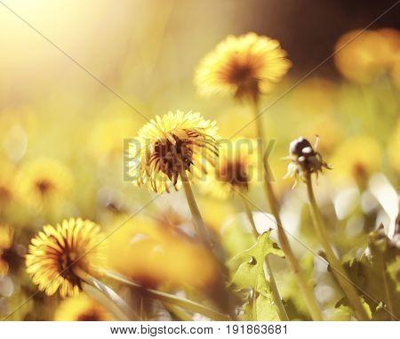 Yellow summer weed flowers in the field - dandelions.