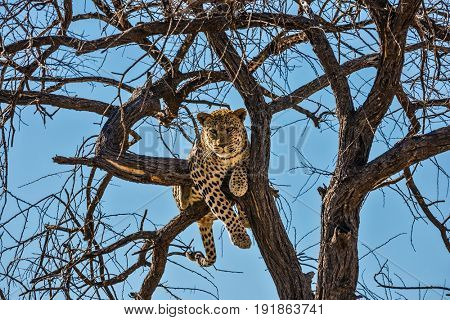 African spotted leopard after feeding. Satisfied and contented leopard on the tree. The concept of exotic and extreme tourism. Travel to Namibia
