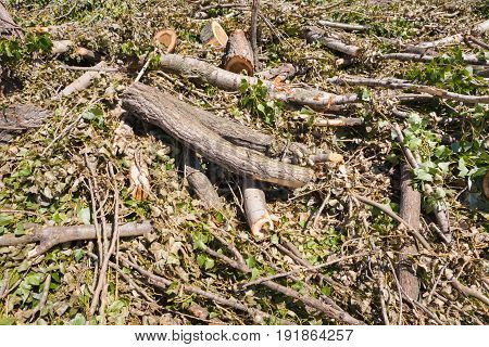 Summer. Sunny day. On the ground lie branches trunk and poplar leaves