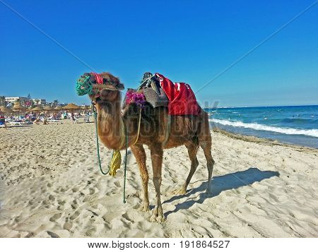 Camel walking on the beach by the sea