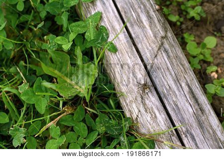 Wolf spider with a white egg sac walks along a wooden log on among grass and clover in a garden