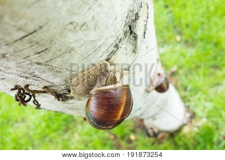 Snails racing up on tree