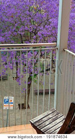 beautiful purple jacaranda tree blooming in the park