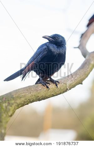 Red winged starling sitting on the tree
