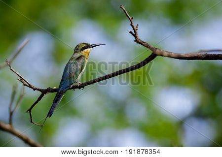 Image of bird on the branch on natural background. Wild Animals. Chestnut-headed Bee-eater (Merops leschenaulti)