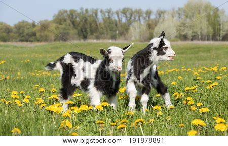 two young funny goat on the field in dandelions