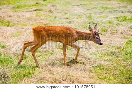 Funny little fawn in the pasture
