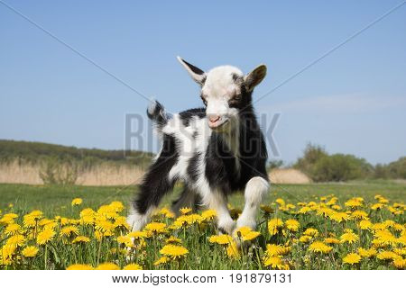 Young funny goat jumps on the field in dandelions