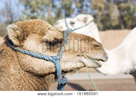 Two camels brown and white on camel farm Morocco