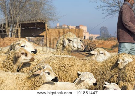 Sheep herd with shepherd village in Morocco