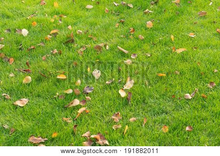 full frame of yellow leaves on green lawnnatural background.