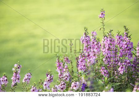 Closeup flowers (salvia officinalis) in the garden