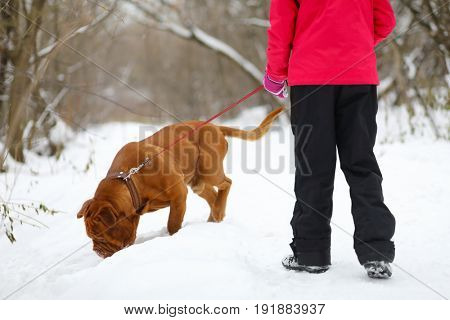 Girl plays with brown dog on snow at winter in park, back view, noface