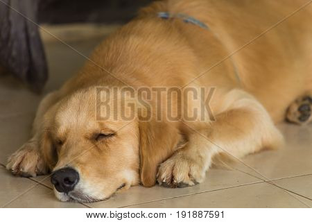 The Golden Retriever Is Sleeping