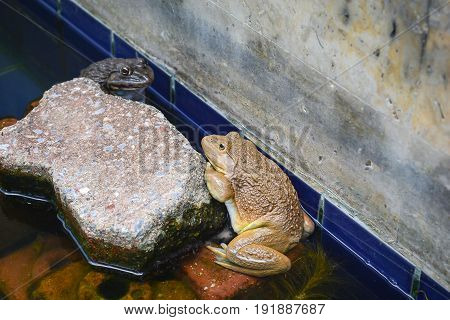 yellow frog and black frog cling a brick on water.Toad relaxing on water