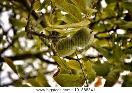 Walnut tree with young fruit on branches