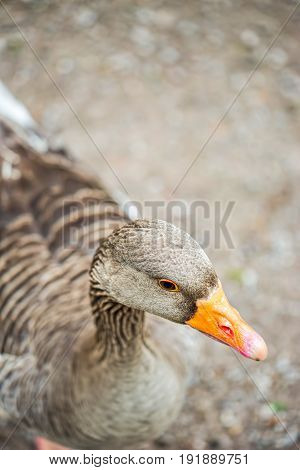 Greylag goose in the park Wildlife Cork Ireland