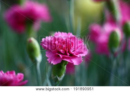 Darkly pink bud of a blossoming carnation. Around dim contours of flowers, leaves and not opened buds.