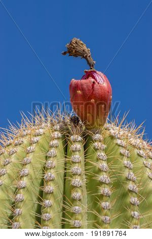 Saguaro Cactus Side view with red fruit appearing.