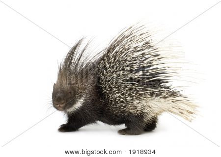 Porcupine in front of a white background poster