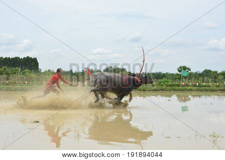 CHONBURI THAILAND - JUNE 18 2017 : Status of traditional Buffaloes racing in Chonburi Thailand.The event is normally held before the rice planting season and marks the importance of buffaloes.