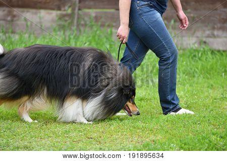 Dog Breeds Of Collie