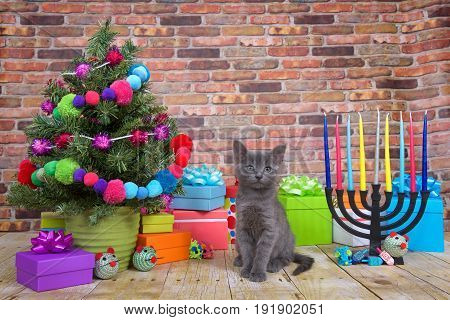 One fluffy gray kitten sitting on a wood floor Miniature Christmas tree on viewers left with menorah on the right. Pop-culture combination of Christmas and Hanukkah. Chrismukkah.