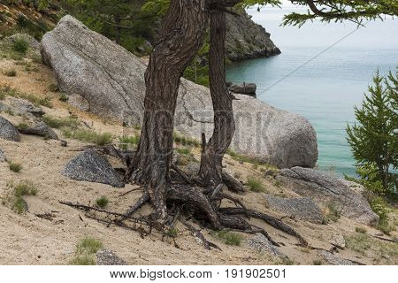 Naked roots of the larch trees on the sandy coast of lake Baikal.