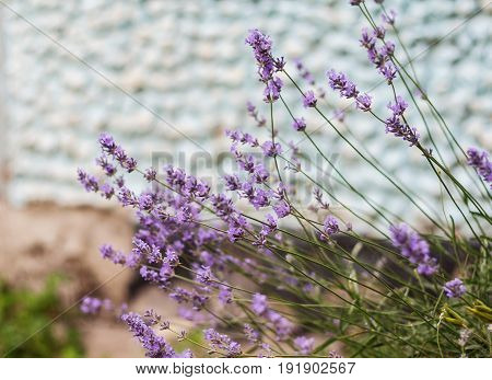 Bush with lavender flowers in blur in sunlight.