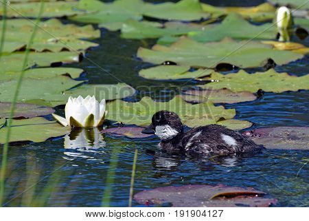 Common goldeneye (Bucephala clangula) duckling and white water lily flower on a pond.