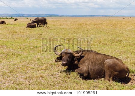 animal, nature and wildlife concept - buffalo bulls grazing in maasai mara national reserve savannah at africa