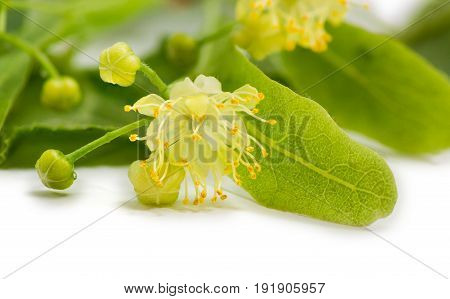One flower of the linden closeup on a blured background of the leaves other flowers and unblown buds on a light background