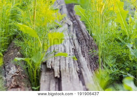 Background of the old mouldering wooden planks overgrown with dill and other grass at shallow depth of field