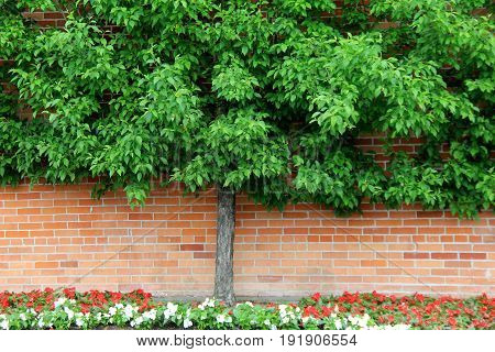 Beautiful image of Espalier tree, trained to grow flat against a  wall of home or building, with bed of flowers just beneath.
