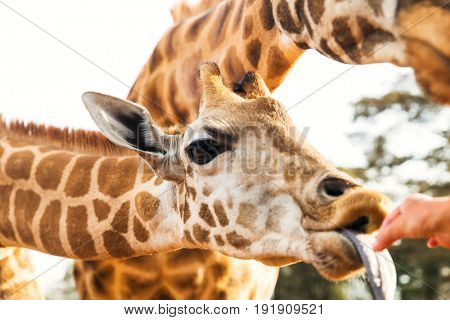 animal, nature and wildlife concept - hand feeding giraffe in africa