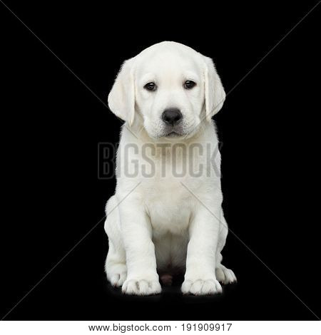 Cute Labrador Puppy Sitting on isolated Black background