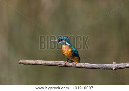 Female Common Kingfisher (alcedo Atthis) Sitting On Branch
