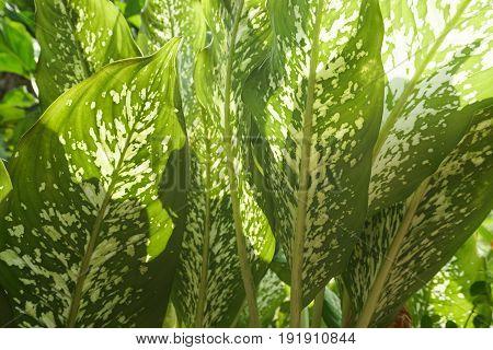 close up green Dieffenbachia leaf in nature garden