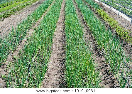 Growing garlic in plant. Farm vegetable. Small sapling of garlic. Garlic plantation. The germs of garlic in the garden