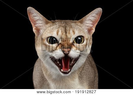 Close-up Portrait of Aggressive Singapura Cat Hisses on Isolated Black background, survival instinct