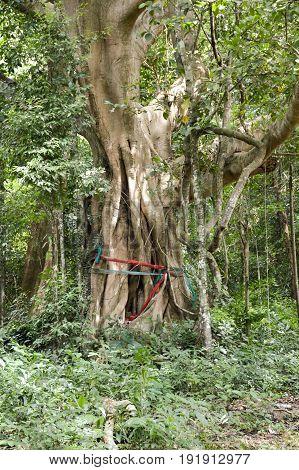 large Ficus benjamina tree in nature garden
