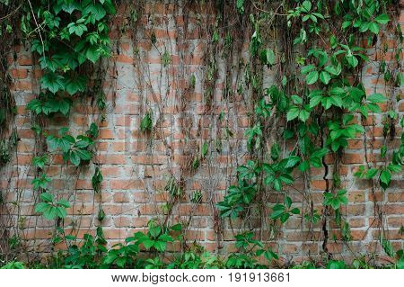 Brick wall with curling ivy or wild grapes