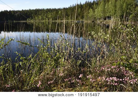 Bog-rosemary (andromeda polifolia) flowers in foreground and and a calm lake and forest in backgroundpicture from the North of Sweden.
