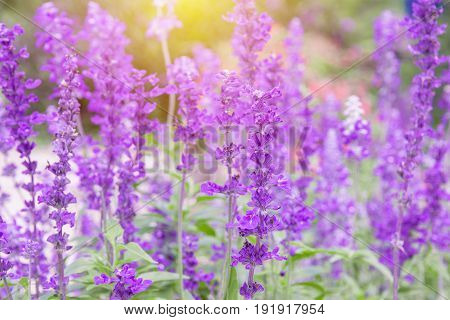 purple field flowers background (lavender flower) on day noon light with sunlight for smooth background selectiv focus