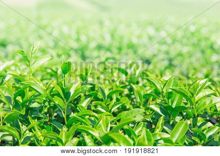 Greentea Leaves. Green Tea Plant Agricuture Field For Background.