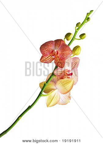 red orchid on white
