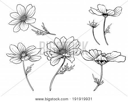 Cosmos flowers. Set of outline flowers.Stock line vector illustration. Outline hand drawing coloring page for coloring book.
