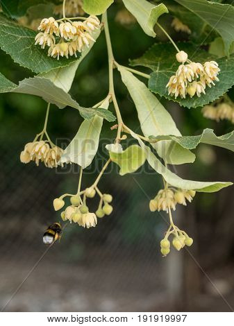 Fresh flowers of Tilia tree also known as lime and basswood